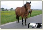 Sobków - konie na drodze